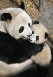 もふもふ!可愛いパンダ
